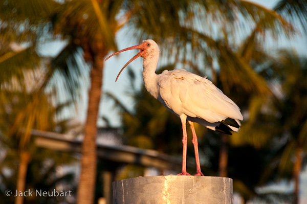 WILDLIFE. Standing on a nearby pylon, but still far enough away so as not to be in jeopardy, this white ibis posed a bit of a challenge. Knowing it would not wait around for long, I quickly moved from one wharf to another (after taking a few initial shots) to get a better angle, twisting around so that I could frame the head as much as possible against a patch of sky. This f/8 exposure let me blur the palm fronds just enough to convey a sense of this Florida location. Photo Copyright  ©2009 Jack Neubart. All rights reserved.