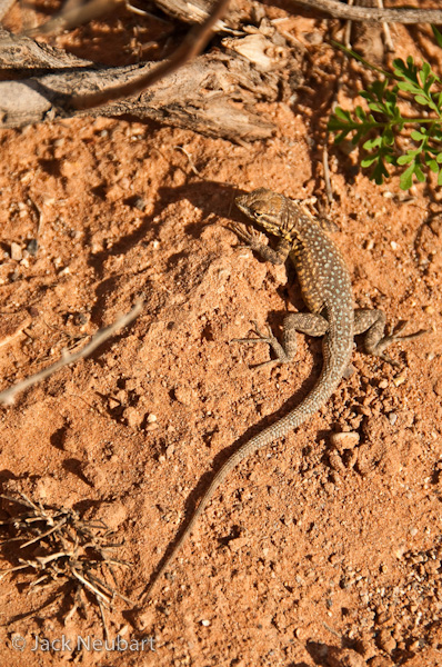 WILDLIFE. The tiny lizard was even more of a challenge. Difficult to see against this desert backdrop (Valley of Fire), it stopped long enough to put up with me for a few exposures, daring me to get closer and closer, till it practically filled the frame--and then scurried off. Both images were taken with the lens at the longest focal length, proving how adept this piece of glass is at handling a diversity of wildlife situations. Photo Copyright  ©2009 Jack Neubart. All rights reserved.