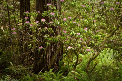 Rhododendrons and Redwood Trunks, Damnation Creek Trail