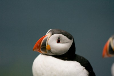 Puffin and Distraction, Iceland