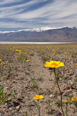 An Unusual Bloom, Death Valley National Park