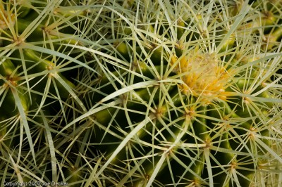Barrel Cactus Detail.  Patterns of Cactus spines offer many photographic opportunities.