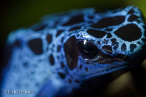 Frog Close-up by Flash. I was even able to shoot some poison dart frogs at or near life-size, when they were close enough to the glass. A ring flash--held off camera to prevent backscatter from the glass and glaring reflections in the frog's skin--gave me the depth of field I needed while freezing movement. Copyright  ©2009 Jack Neubart. All rights reserved.