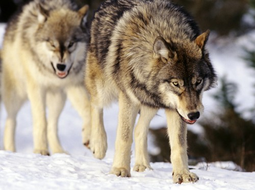 wide-aperture-wolves-9_4