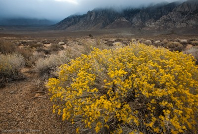 Rabbit Brush, Sherwin Grade, Eastern Sierra, California.