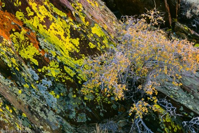 Lichen and Bush at Sunset, White Mountains, California