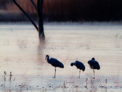 Three Cold Cranes, Bosque del Apache