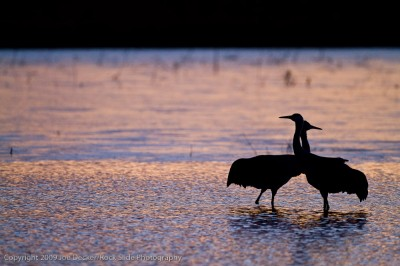 Love Birds, Bosque del Apache
